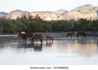 Wild Horses are seen at the Salt River