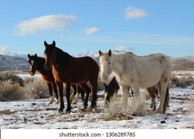 Wild horses in the snow. Reno Nevada