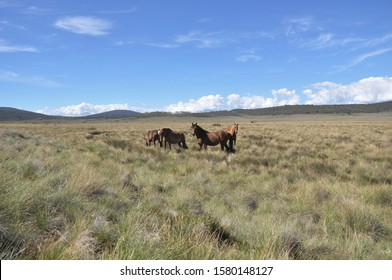 wild horses in the snowy mountains Australia, known as Brumbies in the song from Banjo Paterson