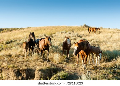 Wild Horses in Theodore Roosevelt National Park, ND, USA