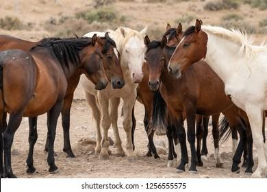 Wild Horses in the Utah desert along the Pony Express Trail