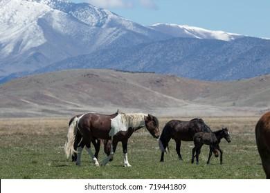 Wild horses walking through green grassy desert