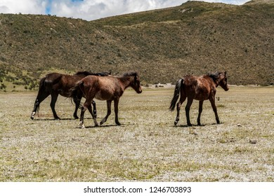 Wild horses wondering across Cotopaxi National Park