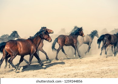 Wild horses (yilki atlari). Galloping horses. Brown, black, white horses. Kayseri, Turkey.
