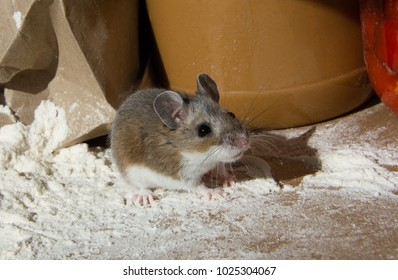 A wild house mouse, Mus musculus, standing on a mound of flour in a kitchen cabinet. There is a paper bag, peanut butter, and a jar of red peppers behind the rodent. Side view with right shadow.