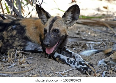 Wild Hunting dogs in the Selous Game Reserve, Tanzania