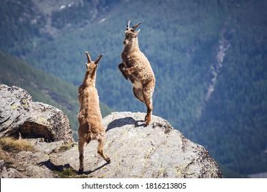 Wild ibex fighting on the rock. Italian Alps. Gran Paradiso National Park, Italy