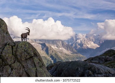 Wild Ibex in front of Iconic Mont-Blanc Mountain Range on a Sunny Summer Day