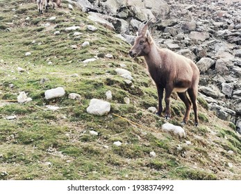 Wild ibex on a mountain slope in Valais in Swiss Alps