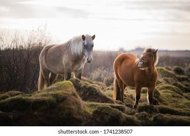 Wild icelandic horses roaming grasslands
