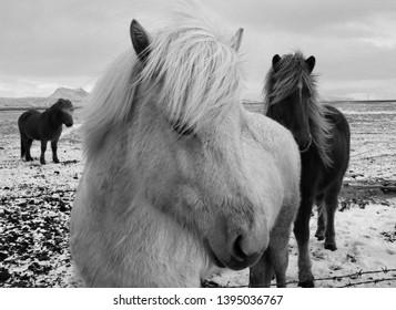 Wild Icelandic Horses - Selfoss, Iceland