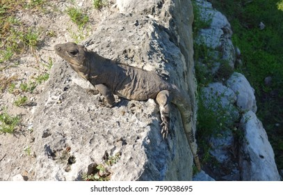 Wild iguana among Mayan ruins in Cancun, Mexico