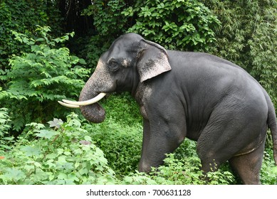 Wild Indian or Asian Elephant in its natural habitat or forest in Periyar nature reserve Thekkady Idukki Kerala India national park animal.
