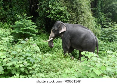Wild Indian or Asian Elephant in its natural habitat or forest in Periyar nature reserve Thekkady Kerala India.