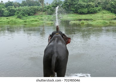 Wild Indian tusker or Asian male elephant spraying water with its trunk at side of lake in Periyar nature reserve forest Thekkady Kerala India. Animals in wildlife sanctuary.