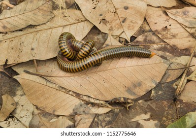 Wild insect breeding on nature.Two giant millipede breeding on brown grass and leaves at the garden (Another millipede tries to insert it.). Millipedes (Thyropygus allevatus) were mating.