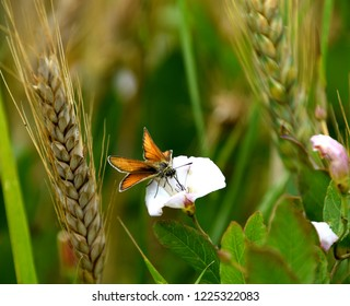 Wild insect on a field bindweed, convolvulus arvensis flower