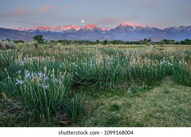 wild iris blooming in a field with mountain sunrise and moonset in the distance