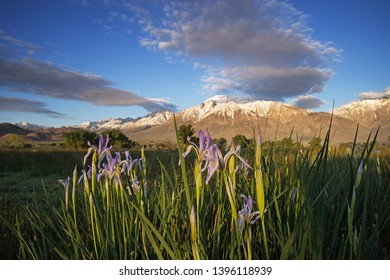 wild iris flowers in a meadow below mountain with selective focus on flowers
