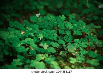 Wild Irish Cloverleaf