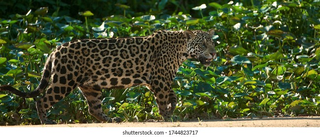 Wild Jaguar walking along the bank of the river in the Pantanal in Brazil