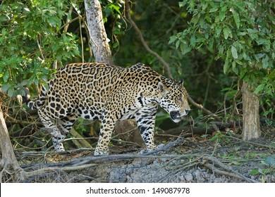A wild Jaguar walking on a river bank in the Pantanal, Brazil