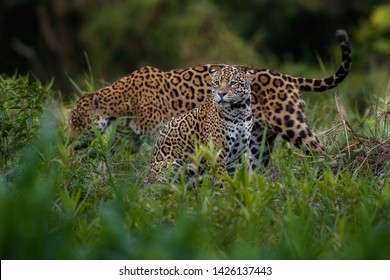 Wild jaguars mating in the nature habitat. Jaguars mating during the golden light. Wildlife scene with danger animals. Hot summer in Brasil. Pantanal area with beautiful jaguars, Panthera onca.