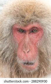 Wild Japanese monkey
