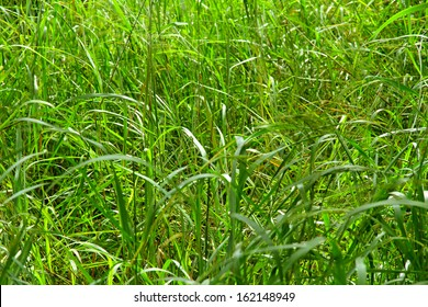 Wild jungle grass grows long and tall in an African jungle.