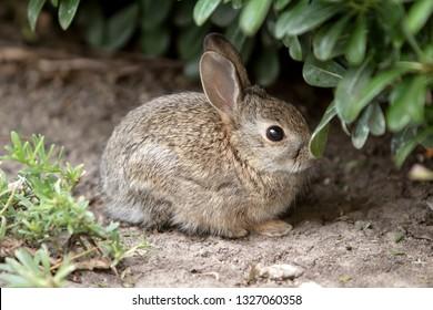 Wild juvenile rabbit