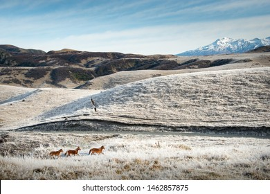 Wild Kaimanawa horses galloping on the mountain ranges in winter with Mt Ruapehu in the background, New Zealand