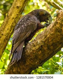 Wild Kaka Bird, Zealandia, North Island, New Zealand