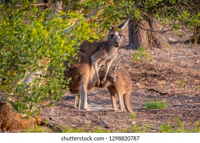 Wild kangaroo joey sneaking back in mothers pouch