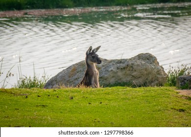 Wild kangaroo observing surrounding from a dent at Yanchep National Park in Australia