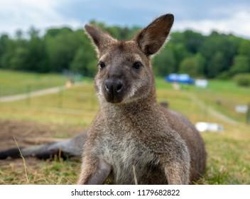 wild kangaroo at the zoo