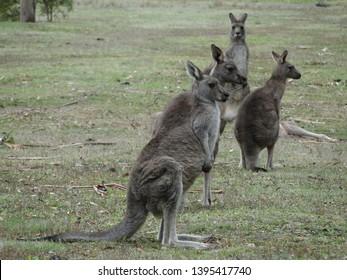 WIld Kangoroos in Halls Gap, Victoria, Australia.