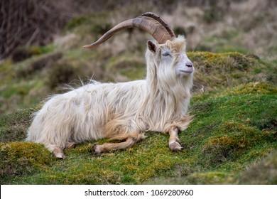 Wild Kashmiri Goat resting on a hill side