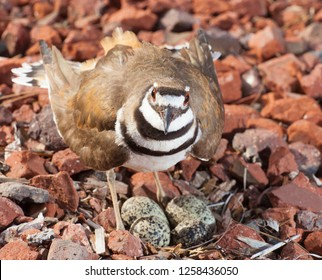 Wild killdeer near a nest on some rocks ready to protect it