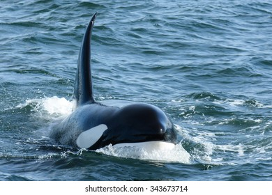 Wild Killer Whale Surfacing