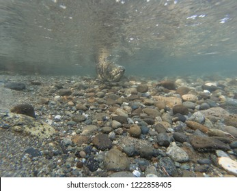 A Wild King Salmon Swimming Up The Cedar River