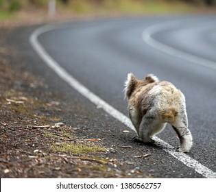 Wild Koala in Australia