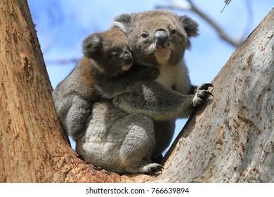 Wild Koala with baby