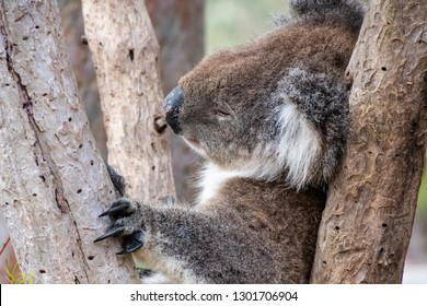 Wild koala bear in Australia sleeping in tree holding himself with his long black claws