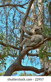 A wild Koala bear sitting in a gum tree next to the path way in a nature reserve