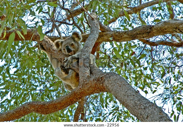 A wild Koala bear sleeping in a gum tree next to the path way in a nature reserve
