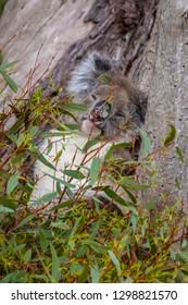 Wild koala bear sleeping in tree behind leafs in Western Australia