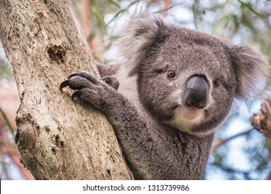 Wild koala climbing up a tree in Adelaide Hills, South Australia