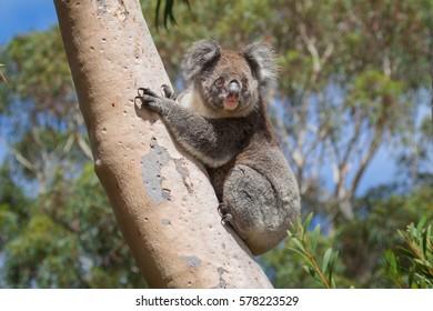 Wild koala in eucalyptus tree, Kangaroo Island, Australia.