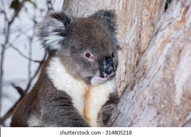 Wild koala on a tree portrait