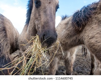 wild konik horses eating hay at Oostvaardersplassen in the Netherlands